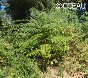 155_ailanthus-altissima